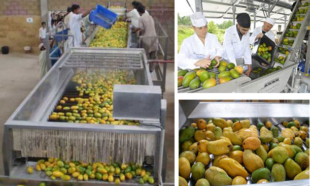 mango juice production process