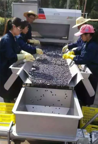 grape selecting